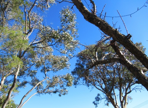 Gorgeous Sunny Warm Winter's Day Canberra Australia Sonya Heaney 19th June 2017 Eucalyptus Tree Gum Tree Garden Blue Sky Nature.