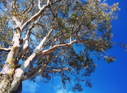Gorgeous Sunny Winter Afternoon Canberra Australia Sonya Heaney 17th July 2017 Garden Nature Gum Tree