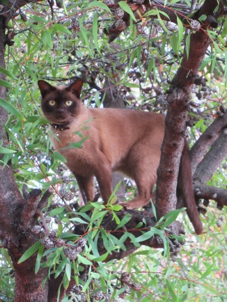 Hannibal Chocolate Burmese Cat Climbing a Tree Sonya Heaney Canberra Australia 24th November 2017 1
