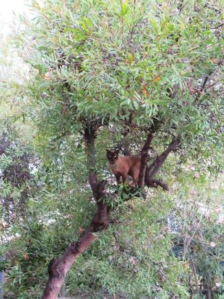 Hannibal Chocolate Burmese Cat Climbing a Tree Sonya Heaney Canberra Australia 24th November 2017 2