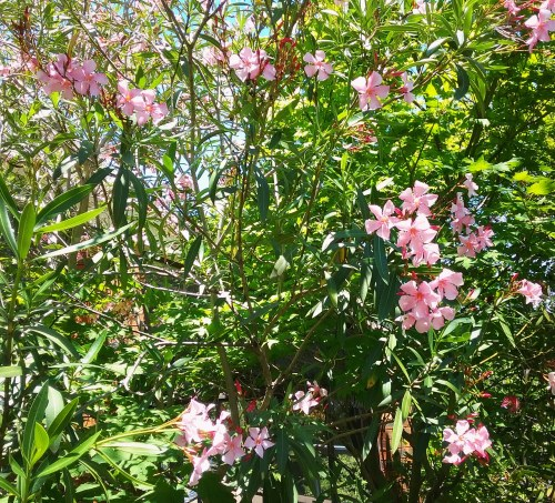 Canberra Australia Summer Flowers Pink Flowers Sonya Heaney 12th December 2017 Summer Garden Nature