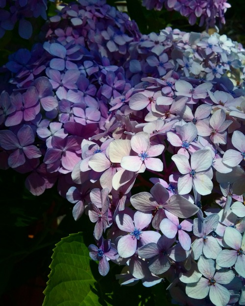 Summer Flowers Hydrangea Purple Blue Canberra Australia Sonya Heaney 6th January 2018 Ukrainian Christmas Eve Garden Heatwave Nature
