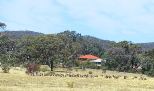 Kangaroos Queanbeyn Canberra Australia Sonya Heaney 28th February 2018