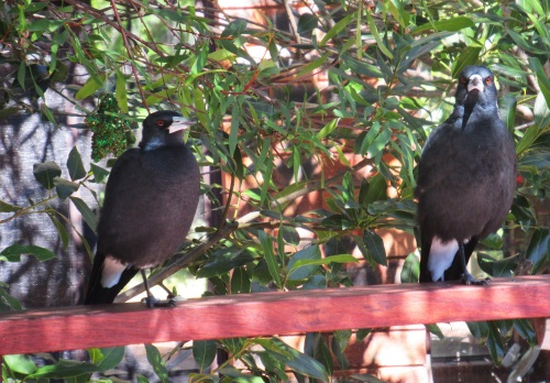 Magpies Tuggeranong Canberra Australia Sonya Heaney Hot Afternoon Autumn Garden 9th Amrch 2018 Birds Nature