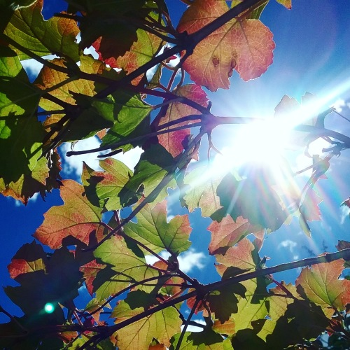 Sunny Autumn Heatwave Canberra Australia Autumn Colours Autumn Leaves Sonya Heaney Garden 29th March 2018 31 Degrees Nature