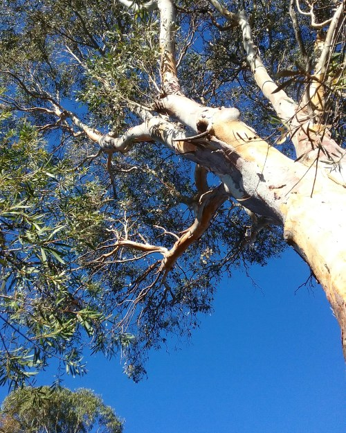 Canberra Australia Blue Sky Australian Capital Territory Tuggeranong Sonya Heaney Eucalyptus Tree Gum Tree Autumn Sunny Afternoon 4th April 2018