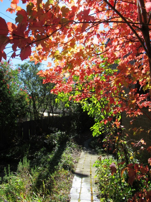 Autumn Path Canberra Australia Sunny Afternoon Autumn Colours Autumn Leaves Sonya Heaney 5th May 2018 Garden Nature