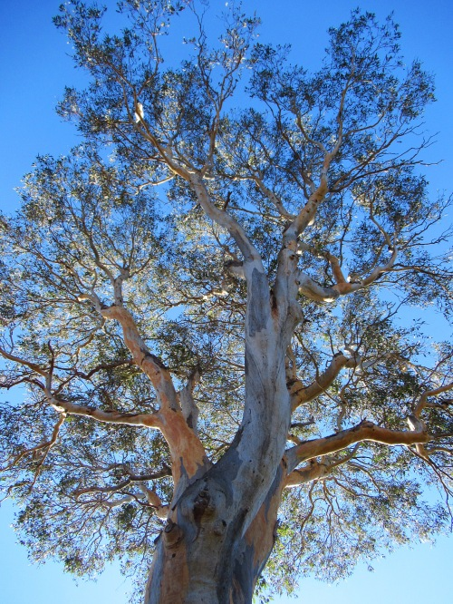 Blue Sky Autumn Sunshine Canberra Australia 24 Degrees Sonya Heaney Eucalyptus Tree Gum Tree 1st May 2018 Garden Nature