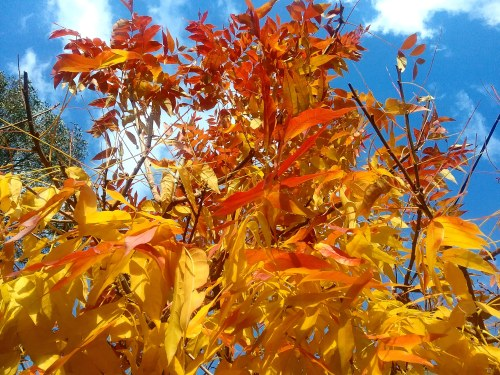 The last of the Autumn Leaves Canberra Australia Autumn Colours Sonya Heaney 30th May 2018 Garden Nature 1