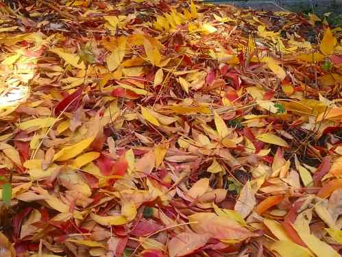 The last of the Autumn Leaves Canberra Australia Autumn Colours Sonya Heaney 30th May 2018 Garden Nature 2