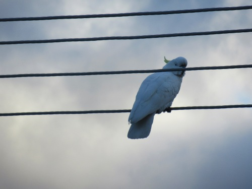 Sulphur-Crested Cockatoo Canberra Australia Dusk Sonya Heaney 30th June 2018 Nature 3