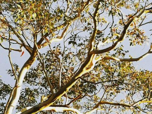 Winter Evening Light Eucalyptus Tree Gum Tree Sonya Oksana Heaney 28th June 2018 Canberra Australia Nature