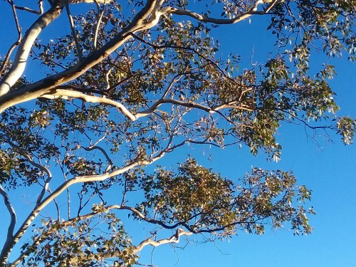 Winter Sunshine Blue Sky Sonya Heaney 19th June 2018 Eucalyptus Tree Gum Tree Canberra Australia Australian Capital Territory Nature