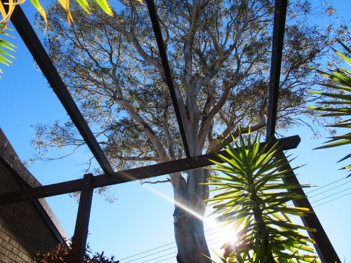 Winter Sunshine Blue Sky Canberra Australia Sonya Heaney 9th July 2018 Garden Nature Eucalyptus Tree Gum Tree