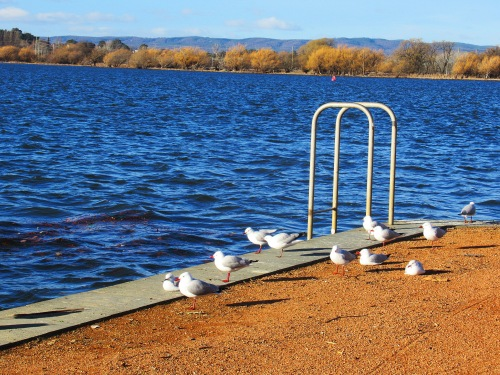 Seagulls Sunny Winter Afternoon Lake Burley Griffin Canberra Australia Sonya Heaney 4th August 2018