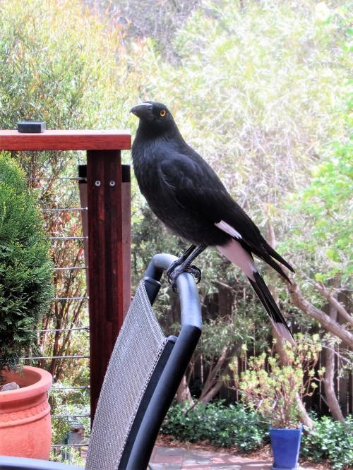 1 Currawong Garden Canberra Australia Sonya Heaney 15th october 2018 Australian Birds Nature