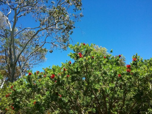 Monday Summer Afternoon Canberra Australia Blue Sky Sunny Afternoon Sonya Heaney 3rd December 2018 Bottle Brush Garden Nature