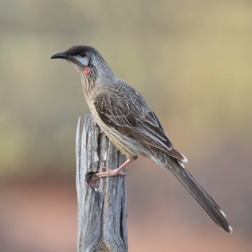 Red_wattlebird.jpg