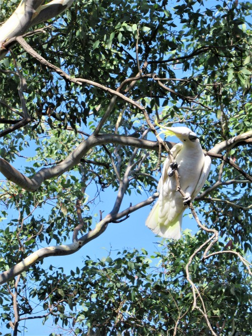 1 Sulphur-Crested Cockatoo Canberra Australia Bird Sonya Heaney 27th February 2019 Garden Nature