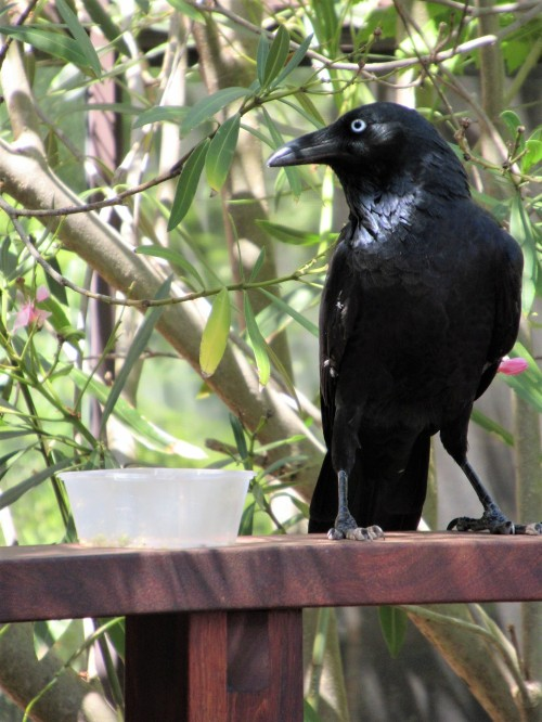 Australian Raven Bird Canberra Australia Sonya Heaney 25th February 2019 1