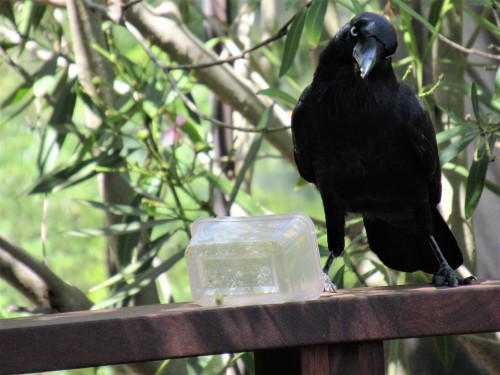 Australian Raven Bird Canberra Australia Sonya Heaney 25th February 2019 2