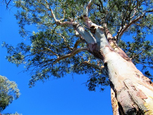 Sonya Heaney Blue Summer Sky Sunshine Canberra Australia Eucalyptus Tree Gum Tree 24th February 2019