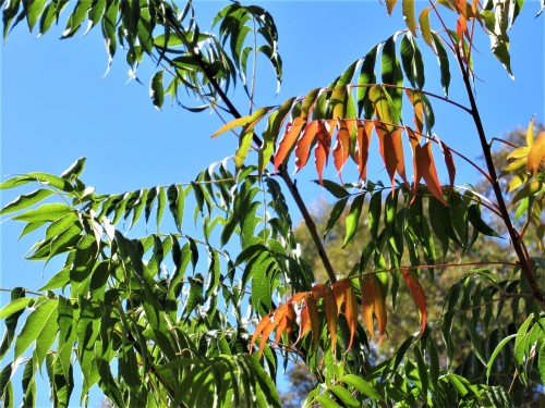 The First Autumn Leaves Garden Nature Canberra Australia Sonya Heaney Autumn Colours 24th February 2019 Summer Sky Blue Sky Sunshine