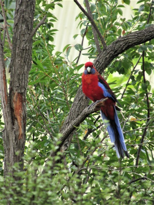 Crimson Rosella Australian Bird Canberra Australia Sonya Heaney 23rd March 2019 1
