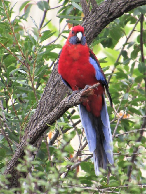 Crimson Rosella Australian Bird Canberra Australia Sonya Heaney 23rd March 2019 2