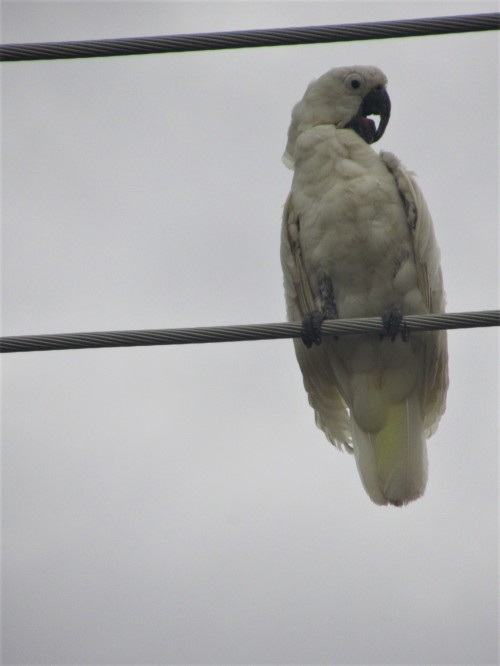 Scruffy half-grown Sulphur-Crested Cockatoo Canberra Australia Sonya Heaney 21st March 2019 Birds NatureIMG_0645