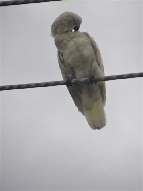 Scruffy half-grown Sulphur-Crested Cockatoo Canberra Australia Sonya Heaney 21st March 2019 Birds NatureIMG_0647