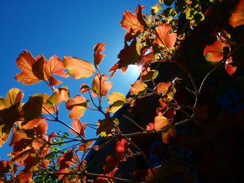 Sunny Autumn Lunchtime Canberra Australia Autumn Colours Autumn Leaves Sonya Heaney 26th March 2019