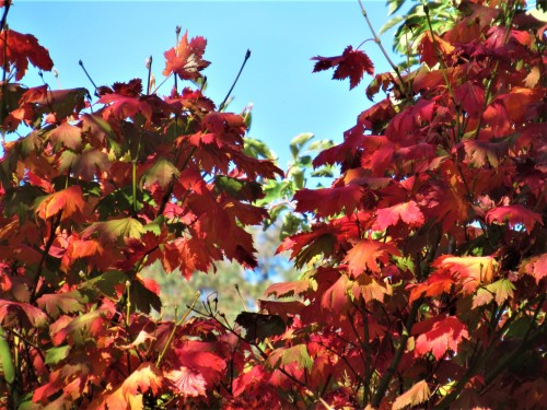 Autumn Colours Autumn Leaves in the Garden Tuggeranong Canberra Australia April 2019 Sonya Heaney Oksana Heaney 3