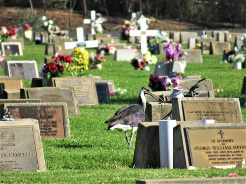 Ibis Queanbeyan Lawn Cemetery New South Wales NSW near Canberra ACT Australia Autumn Heatwave Bird Sonya Heaney 17th April 2019