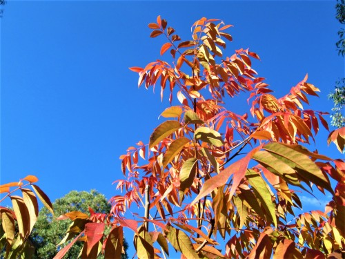 Red Autumn Leaves Autumn Colours Canberra ACT Australia Sonya Heaney 17th April 2019 Garden Blue Sky Nature