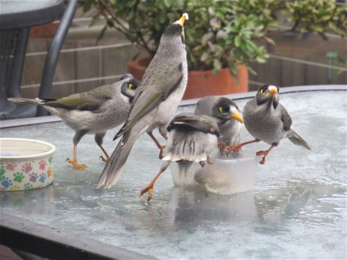 1 5th July 2019 Sonya Heaney The arrival of the noisy miner birds. (There were a few dozen.) #australiananimals #canberra #australia #birds #nature #cbr