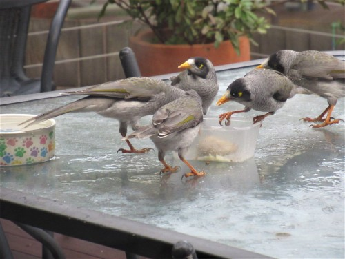 3 5th July 2019 Sonya Heaney The arrival of the noisy miner birds. (There were a few dozen.) #australiananimals #canberra #australia #birds #nature #cbr