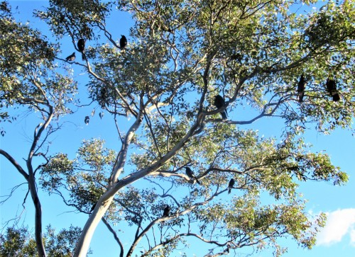 Currawongs Blue Winter Sky Sonya Heaney Eucalyptus Tree Gum Tree Canberra Australia Garden 22nd August 2019