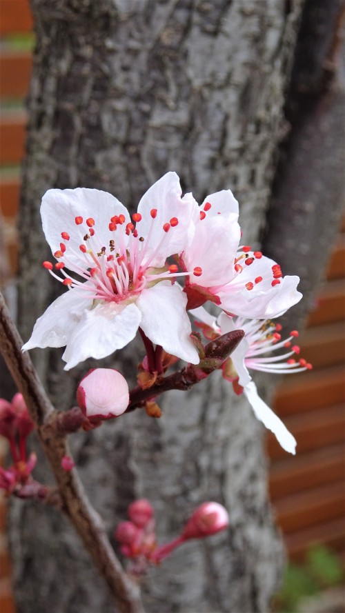 Nearly Spring in Canberra Australia Sonya Heaney Oksana Heaney End of August 2019 Garden Nature Blossom Blossoms Flowers