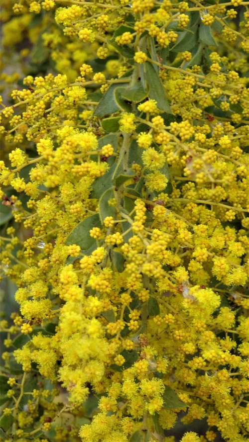Nearly Spring in Canberra Australia Sonya Heaney Oksana Heaney End of August 2019 Garden Nature Blossom Blossoms Wattle