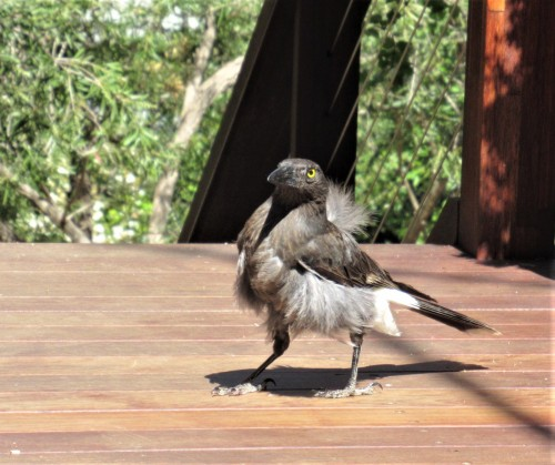 Scruffy Baby Currawong Bird Canberra Australia Sonya Heaney 21st October 2019 Spring 2