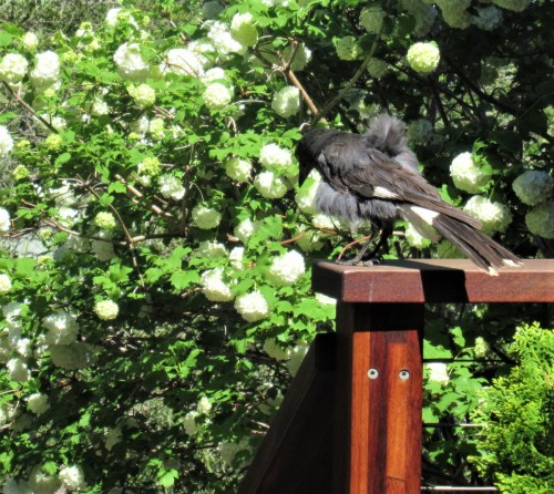 Scruffy Baby Currawong Bird Canberra Australia Sonya Heaney 21st October 2019 Spring White Flowers Garden