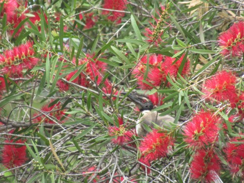 Noisy Friarbird Bottlebrush Bottle Brush Canberra Australia Sonya Heaney 12th November 2019 3