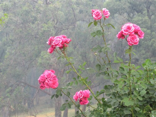 Smoko Bright Victoria Australia Pink Flowers and Bushfire Smoke in the Garden Sonya Heaney December 2019