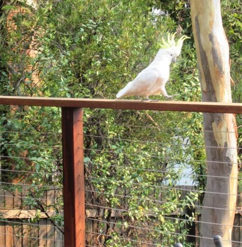 Sulphur-Crested Cockatoo Canberra Australia Sonya Heaney 4th February 2020