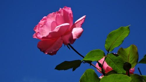 Pink Rose Garden Canberra Australia Sonya Oksana Heaney Autumn 22nd March 2020 Blue Sky Nature