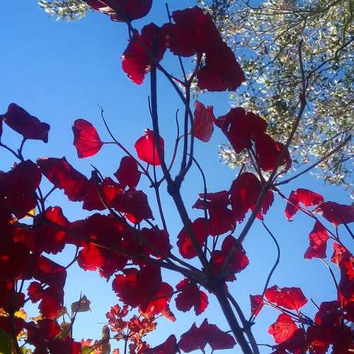 Autumn Colours Red Leaves Canberra Australia 21st April 2020 Sonya Heaney Blue Sky Garden Nature