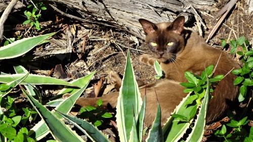 Hannibal Brown Chocolate Burmese Cat eating a cactus Canberra Australia Sonya Oksana Heaney 12th April 2020 Easter Sunday Lockdown Virus