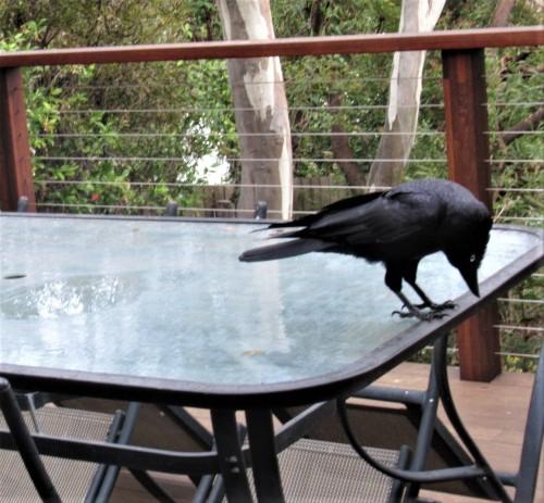 Australian Raven Canberra Australia Sonya Heaney 22nd May 2020 Bird Nature 2