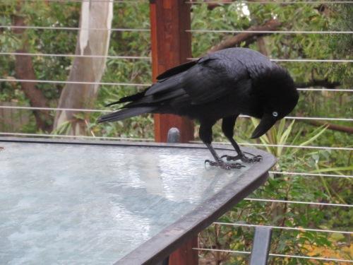 Australian Raven Canberra Australia Sonya Heaney 22nd May 2020 Bird Nature